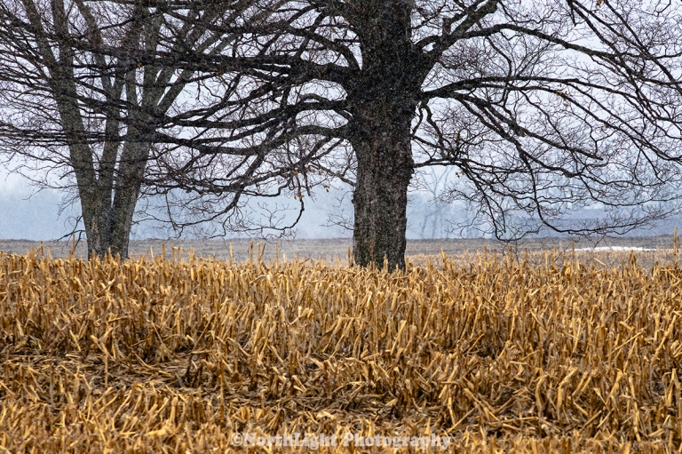 Farm field trees during March snow in Mason County, Michigan, USA